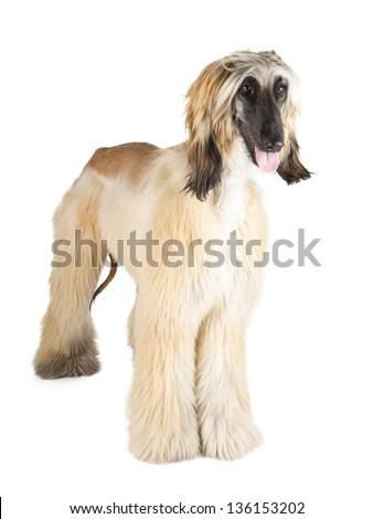 Afghan Hound (Sage Balochi, Ogar Afgan, Eastern Greyhound, Persian Greyhound) - stock photo