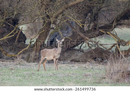 Afraid hind standing in forest looking straight and holding fresh spring grass in mouth
