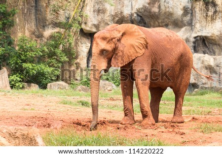 Africa elephant coated body with red mud for prevent body and skin from sunlight.