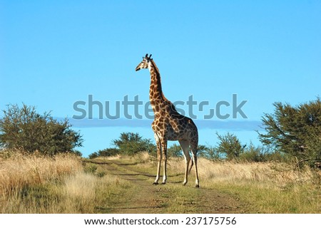 Africa: Giraffe with blue sky in background - stock photo