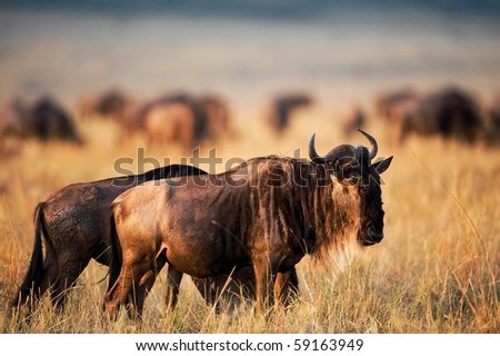 Africa.Kenya. Masai Mara National Reserve. Migration. - stock photo