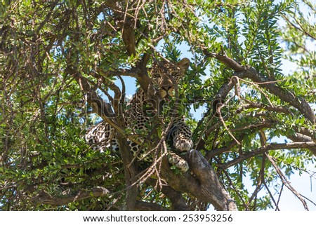 Africa, leopard in big tree - stock photo