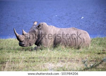 africa, masai mara/rhino/ - stock photo