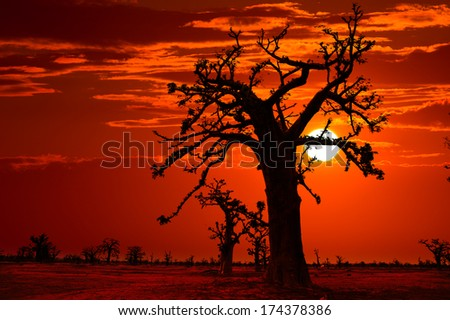 Africa sunset in Baobab trees colorful sky photo-mount - stock photo
