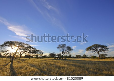 African acacia trees set against blue sky - stock photo