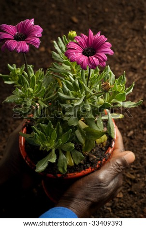 African American Hands Holding Purple Potted Flower on Soil Background - stock photo