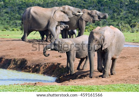 African animals, elephants drinking water, ADDO nature reserve, South Africa  - stock photo