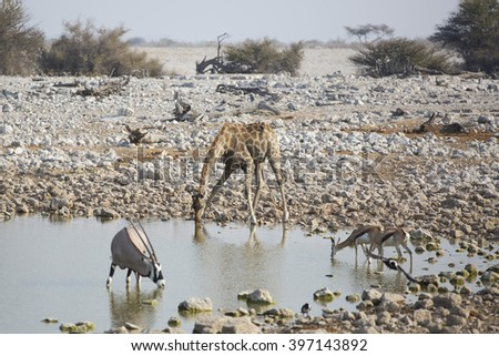 African animals in the drinking pool oryx - stock photo