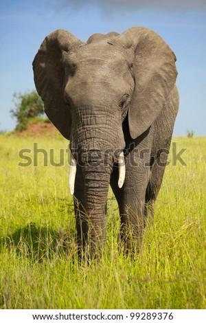 african animals/pensive elephant/ - stock photo