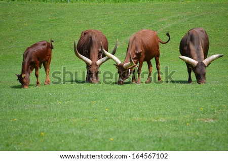 African Ankole Watusi Cattle - stock photo