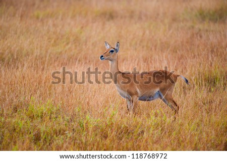 African antelope stays and looks for something in the field