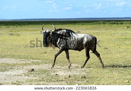 African Antelope Wildebeest in natural habitat. Kenya. - stock photo