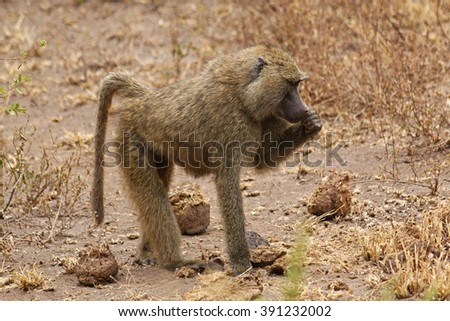 African Baboon / An african baboon walking on the savannah  - stock photo