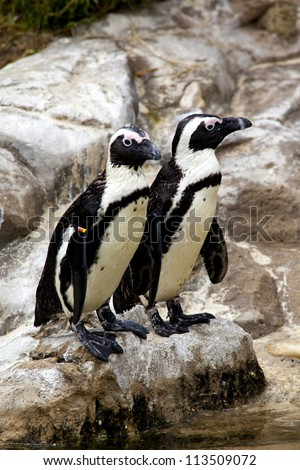 African black footed Penguin. Two African black footed penguins also known as the jackass penguin standing near the waters edge in South Africa. - stock photo