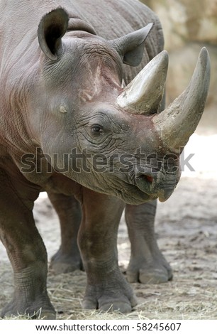 African Black Rhino Profile with two horns - stock photo