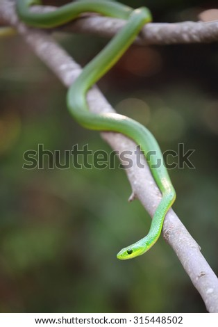 african boomslang (tree snake; Dispholidus typus) - stock photo