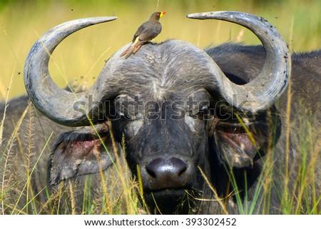African buffalo and a red-billed oxpecker, Maasai Mara Game Reserve, Kenya - stock photo