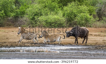 African buffalo and plains zebra in Kruger national park, South Africa ; Specie Syncerus caffer and Equus quagga burchellii - stock photo