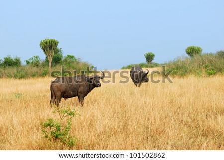 African buffalo in the savannah, Queen Elizabeth national park, Uganda - stock photo