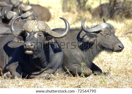 african buffalo Kruger National Park, South Africa - stock photo