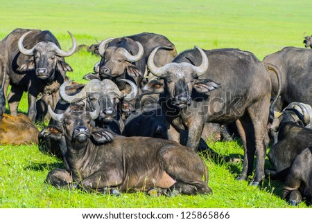 african buffalo masai mara Park, kenya - stock photo