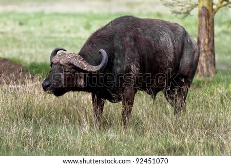African buffalo on the Lake Nakuru National Park - Kenya - stock photo