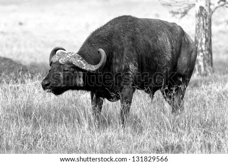 African buffalo on the Lake Nakuru National Park - Kenya (black and white) - stock photo