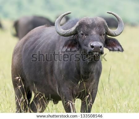 African buffalo  on the Masai Mara National Reserve - Kenya, Eastern Africa - stock photo