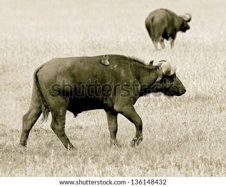 African buffalo on the Masai Mara National Reserve - Kenya (stylized retro) - stock photo