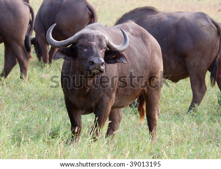 African Buffalo (Syncerus caffer) - stock photo