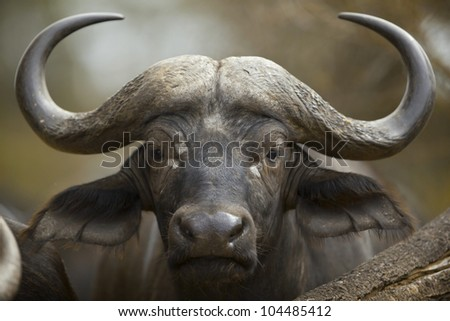 African Buffalo (Syncerus caffer), Kruger National Park, South Africa.