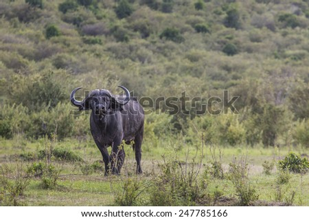 African buffalo (Syncerus caffer) on the grass. The photo was taken in Ngorongoro Crater, Tanzania - stock photo