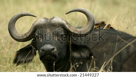 African buffalo (Syncerus caffer) with yellow-billed oxpecker (Buphagus africanus), Nakuru National Park, Kenya