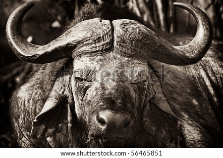 African Buffalo with dried mud on his face, Masai Mara, Republic of Kenya, East Africa - stock photo