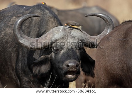 African buffalo with yellow-billed oxpeckers, Serengeti, Tanzania