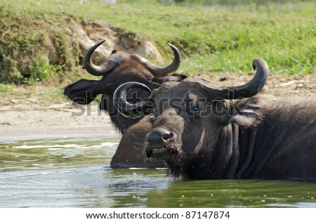 African Buffalos waterside in Uganda (Africa) while taking a bath - stock photo