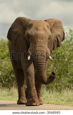 African bull elephant walking down road - stock photo