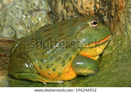 African bullfrog (Pyxicephalus adspersus) - stock photo