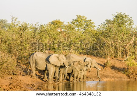 african bush elephant drinking in the riverbank,, kruger park