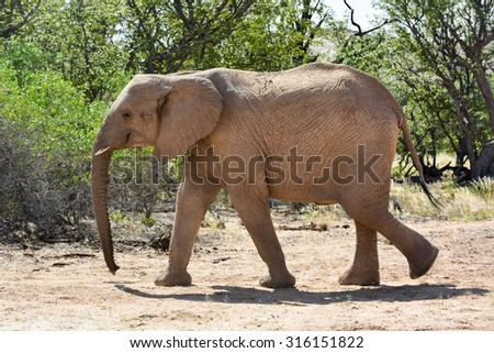 African bush elephant (Loxodonta africana) that have made their homes in the Namib. Desert dwelling elephants are uniquely adopted to extremely dry and sandy conditions.