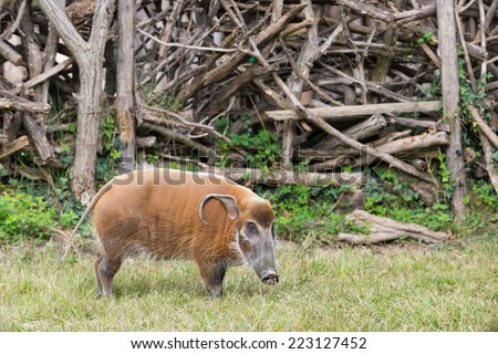 African bush pig eating grass with wood in background - stock photo