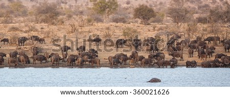 African cape buffalos in Kruger National Park, South Africa - stock photo