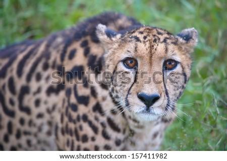 African Cheetah - stock photo