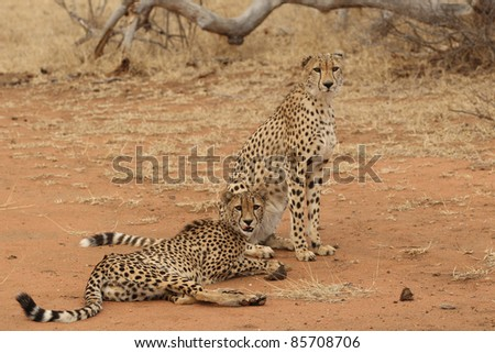 African Cheetah Brothers