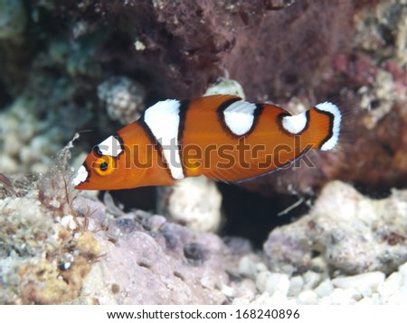 African coris in Bohol sea, Phlippines Islands - stock photo