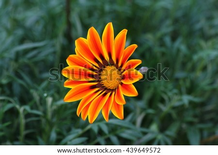 african daisy flower.Gazania flower native.Yellow flowers (South African daisies - Gazania rigens) in flower garden  on nature background. two tone orange yellow flower petal.  - stock photo