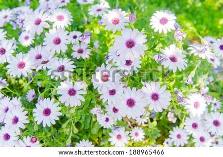 African daisy, Osteospermum,in the garden,as background - stock photo