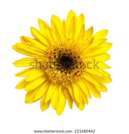 African Daisy. Yellow gerber isolated on white background  - stock photo