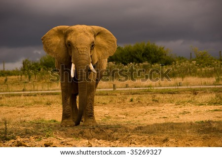African Elephant against a dark sky - stock photo