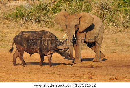 African Elephant and Buffalo